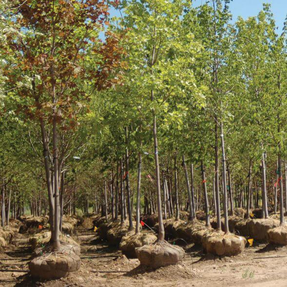 bnb trees